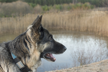 alertness: Shepherd dog looking in the distance in a position of alertness, outdoor shot