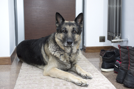 Shepherd dog lying on the rug in a doorway, indoor shot, concept of safety