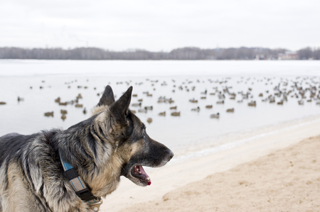 duck hunting: Shepherd dog in alert watching swimming duck in the blurred background