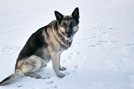 stare: Serious shepherd dog with intense stare sitting on the snow, dog`s footprints around