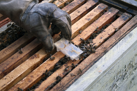 particular: Hand of a beekeeper wearing protective glove replacing a bee queen in a special plastic container, angled shot with particular focus