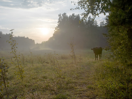 foot path: Sky and forest after rain and a cow standing on the foot path, sunset scene with focus in the foreground Stock Photo