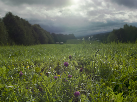 contra: Clover flowers in the valley after rain with overcast sky, contra light shot Stock Photo