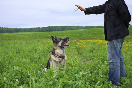 overcast: A dog teacher training a shepherd dog for obedience, field landscape in the background