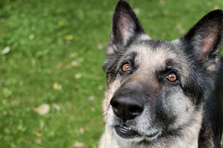 Shepherd dog with a curious look and open mouth, outdoor cropped photo Stock Photo