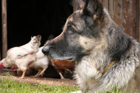 Dog keeping eye on chicken in a farm, outdoor cropped photo