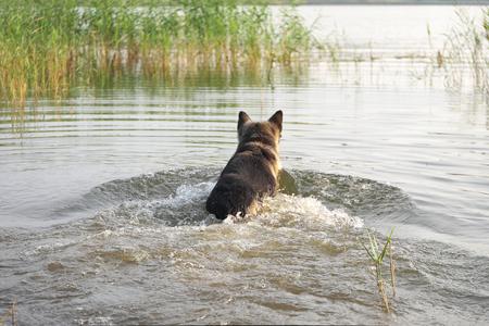 Dog Rushing In Water Stock Photo