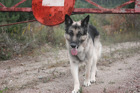 An alsatian dog in the foreground and a metal barrier with no entry sign in the background Stock Photo