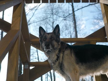 A vigilant shepherd dog standing on wooden veranda, low angle shot