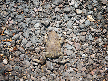 A dead toad on the asphalt road, overhead closeup Stock Photo