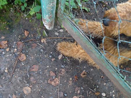 Overhead shot of a terrier watching the area behinde the metal fence