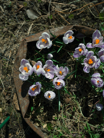 beautiful springtime crocuses Stock Photo