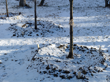 Winter shot of the young trees supported with strings, outdoor shot Stock Photo