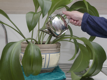 Cropped shot of female hand with tea pot watering a plant in a pot