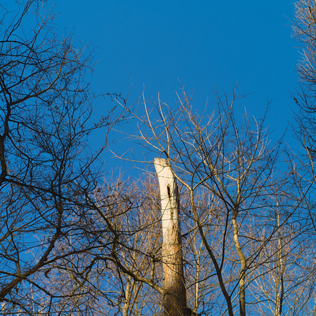 A dead tree with a damaged trunk against the blue sky, outdoor square shot