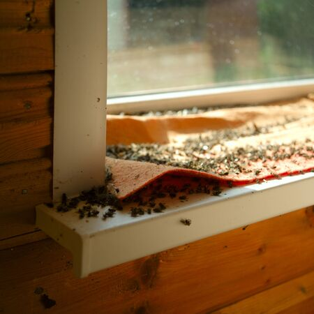 Massive amount of intoxicated flies on the window sill, indoor close-up Stok Fotoğraf