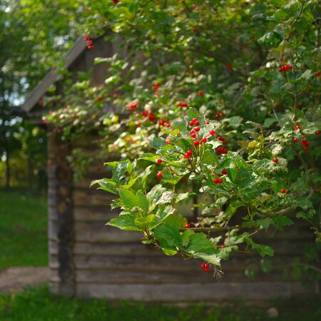 Rowan berries in front of the old wooden house, shallow dof outdoor shot 스톡 콘텐츠