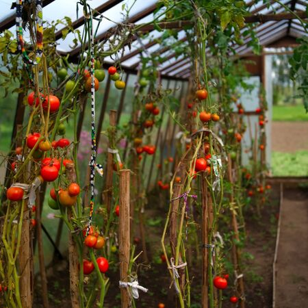 Handmade greenhouse with gowing red tomatoes outdoor summertime shot, shallow dof