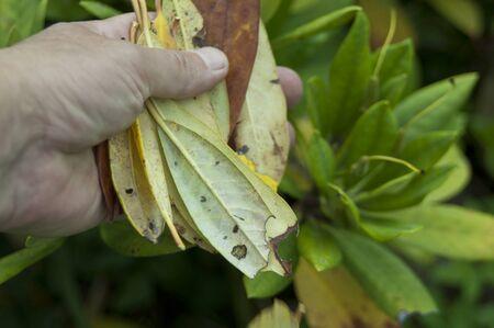 Una mano recogiendo hojas dañadas de la planta afectada, primer plano al aire libre Foto de archivo