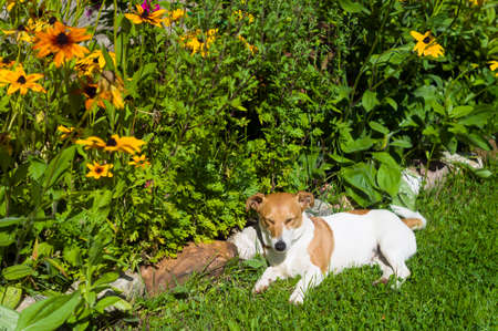 a small dog napping next to a floeer bed, outdoor shot Stock Photo - 156681601
