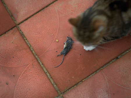 Overhead shot of a cat sitting next to a dead mouse