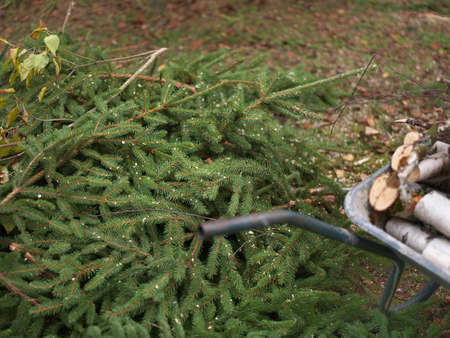 Freshly cut fir tree branches next to a trolley with firewood
