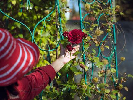 Female hand holding red rose in a garden, summertime shot, shallow dof Stock Photo