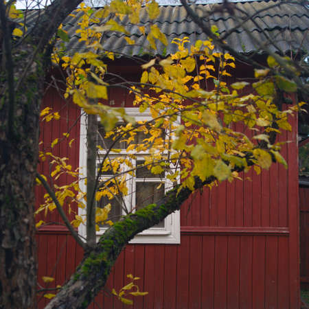 A tree with yellow leaves against the wooden house, autumn daytime shot