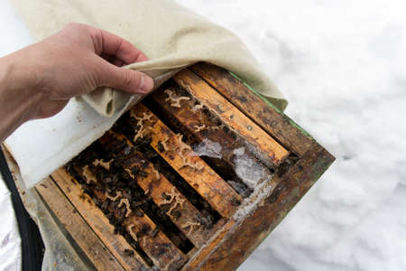Beehive inspection in winter, a hand  gently removing protective cover 版權商用圖片