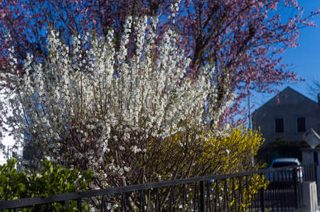 Tree blooms behind the metal fence, urban springtime scene, shallow DOF