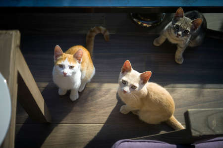 Three hungry kittens asking for food while sitting under the table, above shot 版權商用圖片