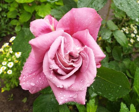 incarnadine: Rose after rain. Rostov-on-don, Russia. Stock Photo