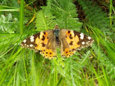colouration: Butterfly on grass, in the village Kagalnitskaya - Rostov region.