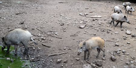 pigling: Wild boars. Teberdinsky state natural biosphere reserve, Karachay-Cherkess Republic, Russia. Photo taken on: July 28, Sunday, 2013
