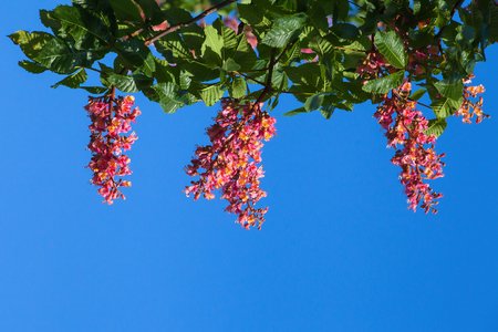 Red chestnut against the blue sky, located on the top