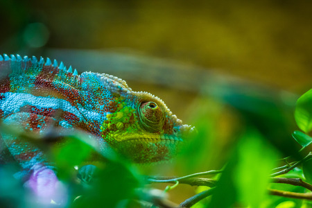 the fittest: Colorful Chameleon Stock Photo