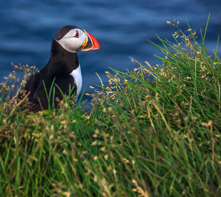 puffin looking side way on the grass