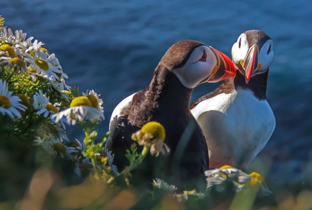 Couple puffins with flowers on the cliff near coastline Foto de archivo