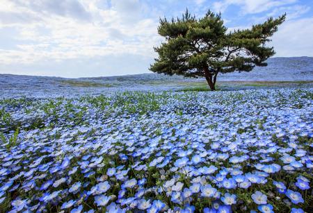 Hermosa vista de las flores del nemophila (ojos azules de bebé) en el parque de playa, Ibaraki Foto de archivo