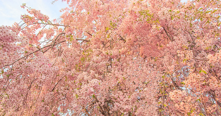 Beautiful pink cherry blossom flowers tree during the spring season in Japan