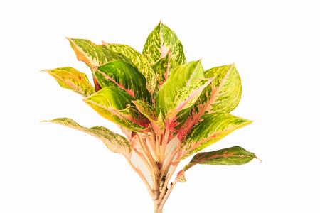 Colorful Aglaonema or Chinese Evergreen isolated on white background.