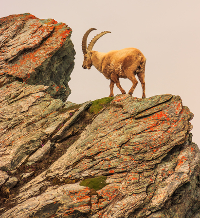 An ibex (capra caucasica) on the Gornergrat mountain cliff, Zermatt, Switzerland Stock Photo