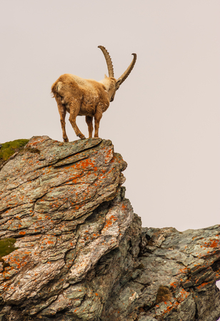 An ibex (capra caucasica) on the Gornergrat mountain cliff, Zermatt, Switzerland Banco de Imagens
