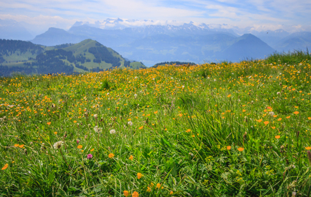 Yellow Buttercup Wildflowers in meadow with blurred background of Panoramic Landscape View of mountain ranges from Rigi Kulm viewpoint, Lucerne, Switzerland, Europe. Stock Photo