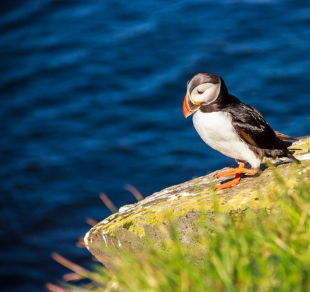 Puffin bird walking on the rocky cliff on a sunny day at Latrabjarg, Iceland, Europe.