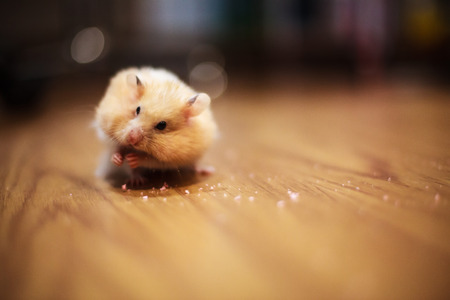 Cute Orange and White Syrian or Golden Hamster (Mesocricetus auratus) keeping food in elongated spacious cheek pouches to its shoulder on with dark blurred background. A food hoarding hamster behavior Stock Photo