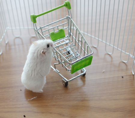 A Cute Winter White Dwarf Hamster looking for pet food on the empty miniature shopping cart. The Winter White Hamster is also known as the Winter White Dwarf, the Djungarian or the Siberian Hamster.