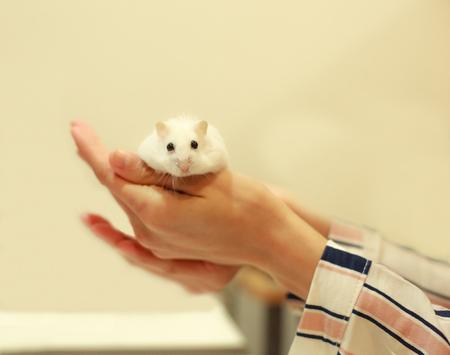 Cute Winter White Dwarf Hamster eating walnut on owner's hands. The Winter White Hamster is also known as the Winter White Dwarf, the Djungarian or the Siberian Hamster.
