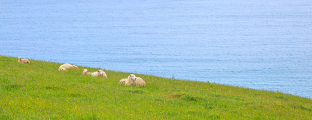 Animal wildlife in the wild concept. Herd of Sheep and Lamb peacefully live in the natural New Zealand green grass meadow field near the sea beach