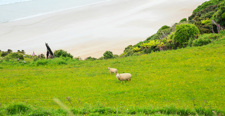 Sheep and lamb peacefully live in the natural New Zealand green grass meadow field near the sea beach Stock Photo